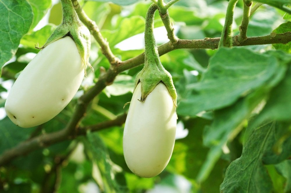 2 white aubergines hanging on the plant.