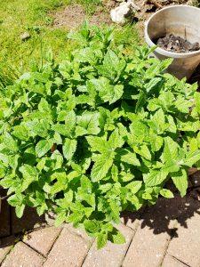 Mint growing in the garden